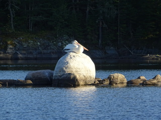 White pelican snoozing on a boulder sticking out of the lake