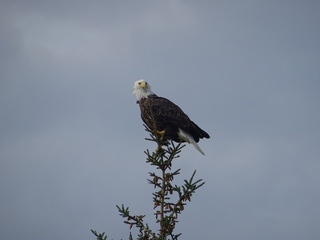 A curious bald eagle watching us with interest
